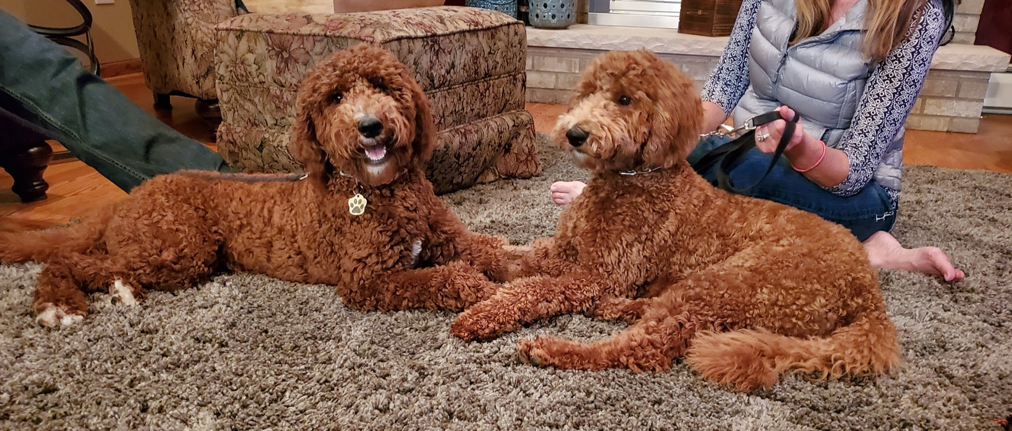 Two red standard poodles - brother & sister - Cedar Hill Labradoodles