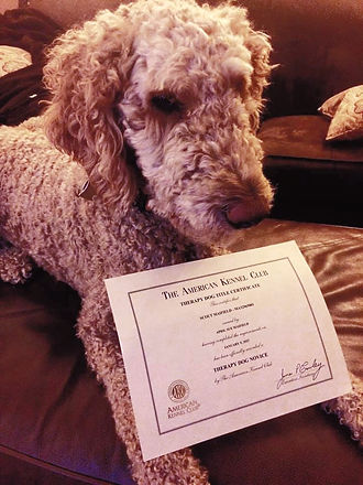 Scout - a therapy dog from Cedar Hill Labradoodles