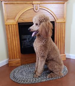 Magnolia - red standard poodle