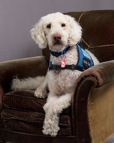 Odle, the service dog from Cedar Hill Labradoodles