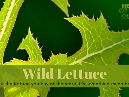 Herb of the Week - Wild Lettuce