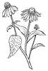 Echinacea.PNG