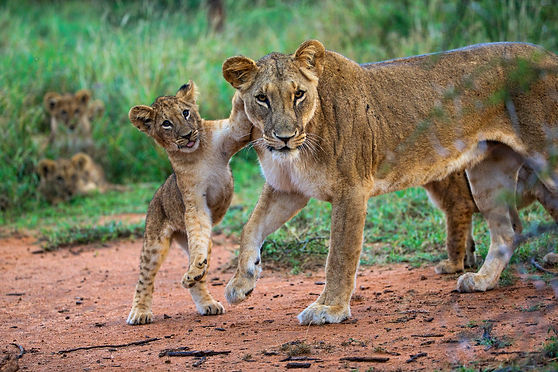 lion with cub_Susan McConnell (8).jpg