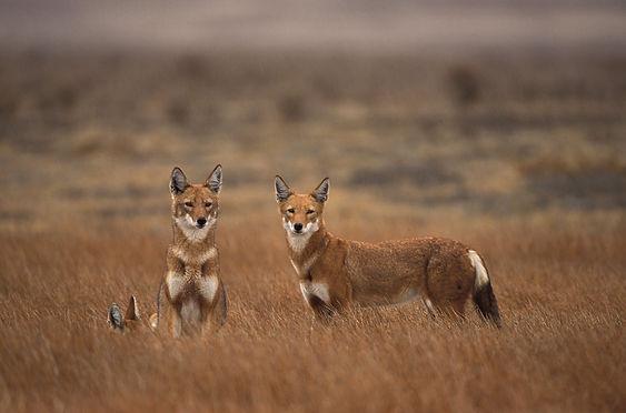 Ethiopian Wolf_credt A.L Harrington007A