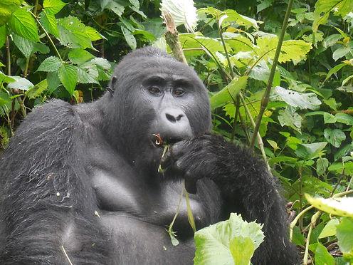 Kanyonyi, Silverback from Mubare Gorilla