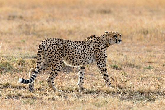 cheetah (c) Susan McConnell.jpg