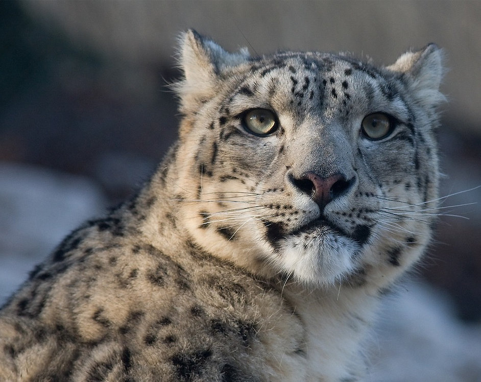 snow-leopard-725384_1920_edited.jpg