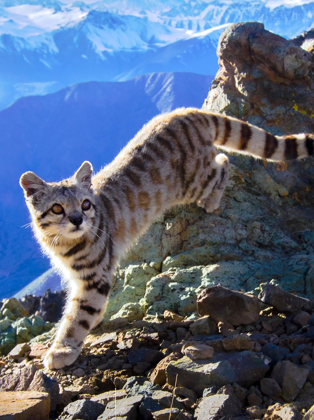 Andean Cats