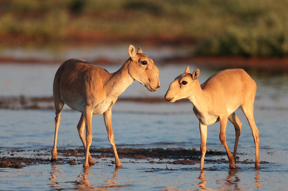 Saiga female with baby_Photo by Eugeny P