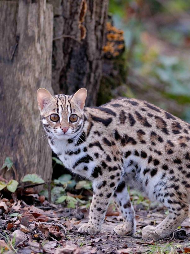 Small Wild Cats