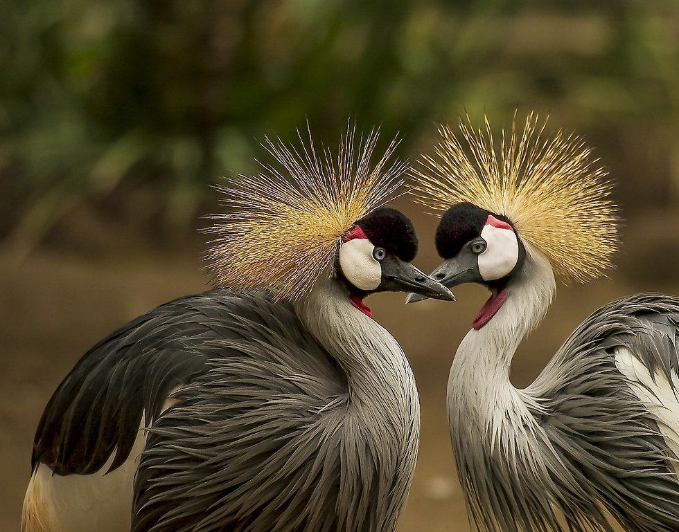 grey-crowned-cranes-540657_1920%20(Frank
