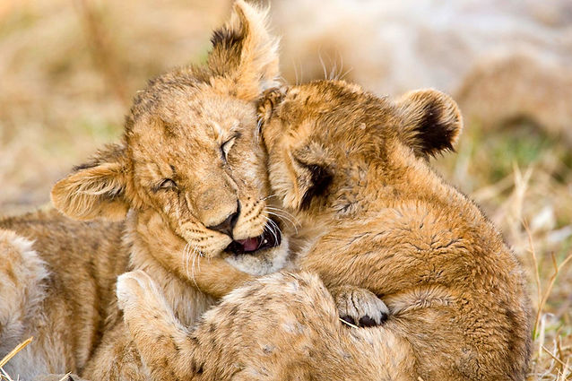Steve Mandel lion cub play.jpg
