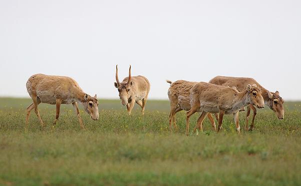 Saiga antelopes_Andrey Gilev and Karina