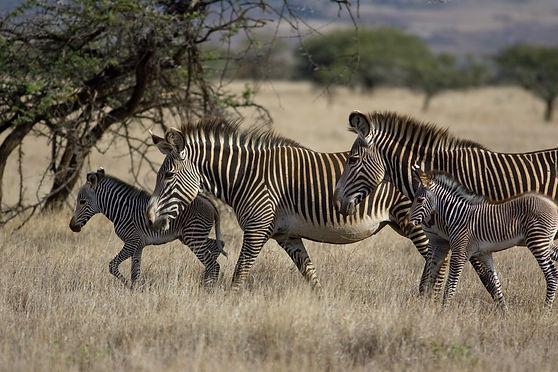 zebra (c) Suzi Eszterhas.jpg