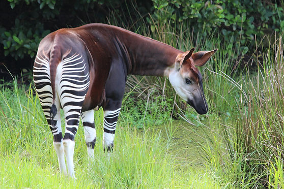 okapi (c) Okapi Conservation Project.JPG