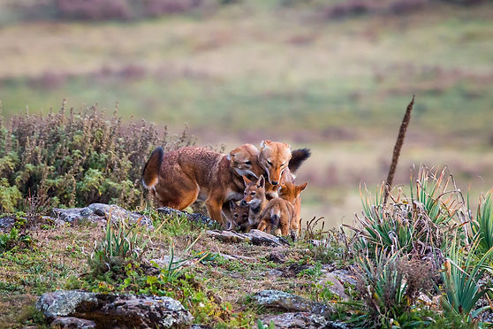 ethiopian_wolf_family.jpg