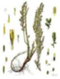 herb_wormwoodmugwort.jpg