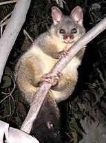 4-possum.jpg