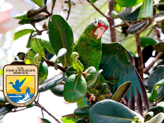 Puerto Rican Parrot Project.jpg