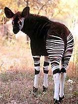 2-Okapi.jpg