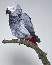 17- african-grey.jpg