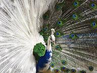 13-peacock.jpg