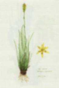 herb_asphodel.jpg