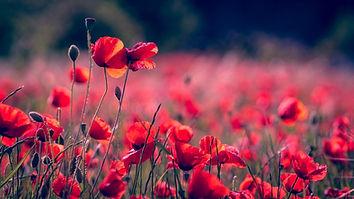 poppies-3374193_1280.jpg