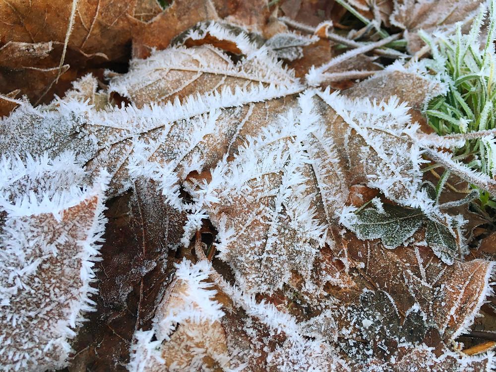 Frostiga löv