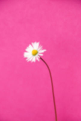 white daisy on pink background_edited.jpg