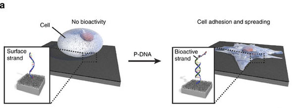 Instructing cells with programmable DNA-peptide hybrids