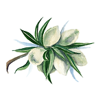 Almond 01 Sativa Botanicals.png