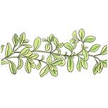 Marjoram Sativa Botanicals.png