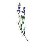 Lavender 01 Sativa Botanicals.png