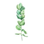 Eucalyptus 01 Sativa Botanicals.png