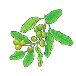 Shea Butter 01 Sativa Botanicals.png