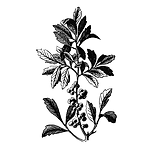 Bayberry Sativa Botanicals.png