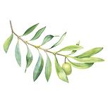 Olive Squaland 01 Sativa Botanicals.png