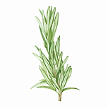 Rosemary 01 Sativa Botanicals.png