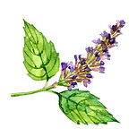 Pathouli 01 Sativa Botanicals.png