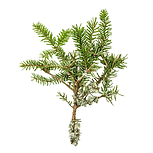Cedarwood 01 Sativa Botanicals.png