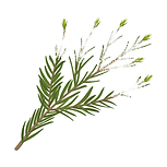 Tea Tree 01 Sativa Botanicals.png