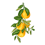 Sweet Orange 01 Sativa Botanicals.png
