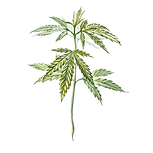 Hemp 01 Sativa Botanicals.png
