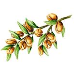 Argan 01 Sativa Botanicals.png