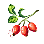 Rose hip 01 Sativa Botanicals.png