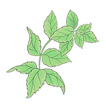 Pepperment 01 Sativa Botanicals.png