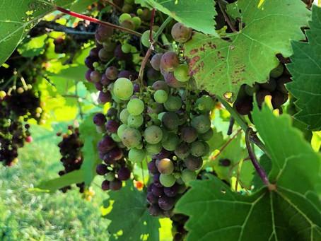 Vineyard Update: 07/31/2018