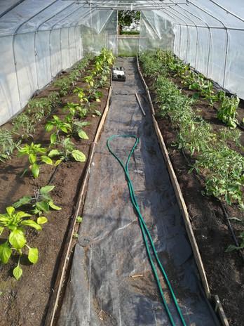 Aubergine och paprika hittar hem i tunnelväxthuset