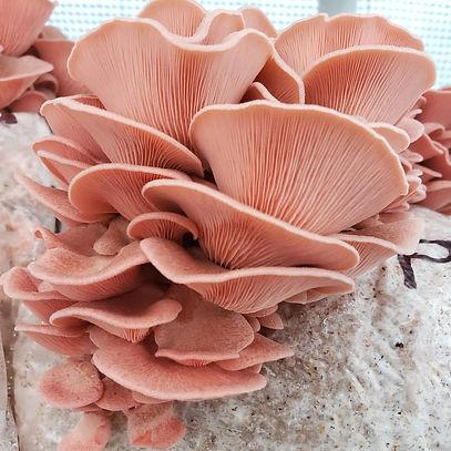 Pink Oyster.jpg